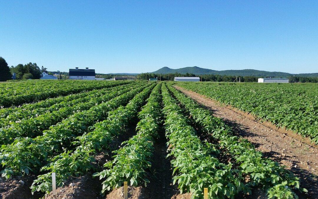 Prodej certifikovaných sadbových brambor zahájen